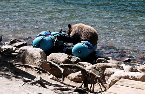 photo of Bear not damaging a Super Cat Float Tube